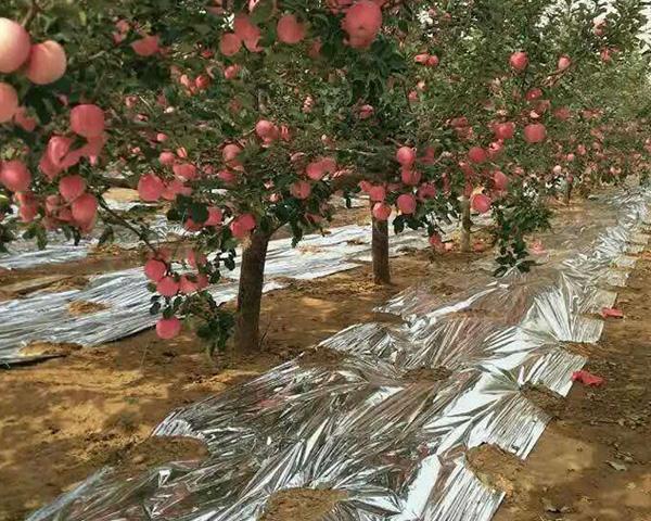苹果园铺反光膜